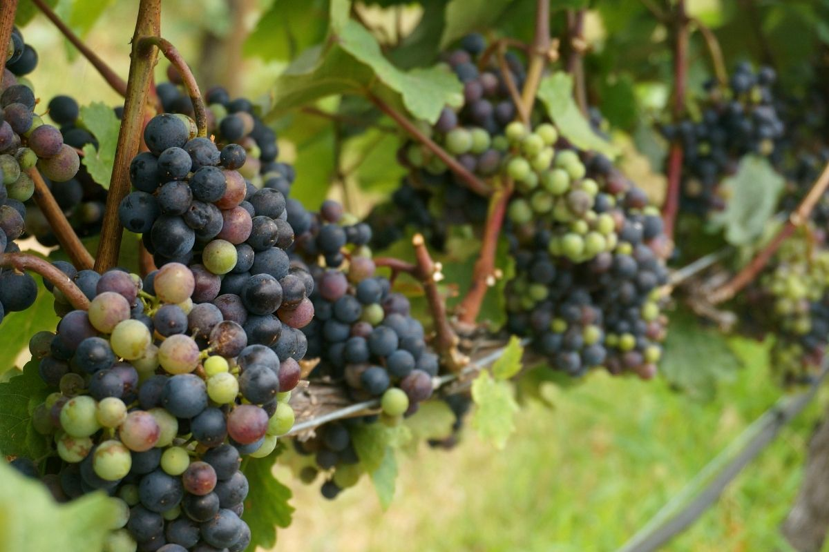 Grape Farming: All You Need to Know