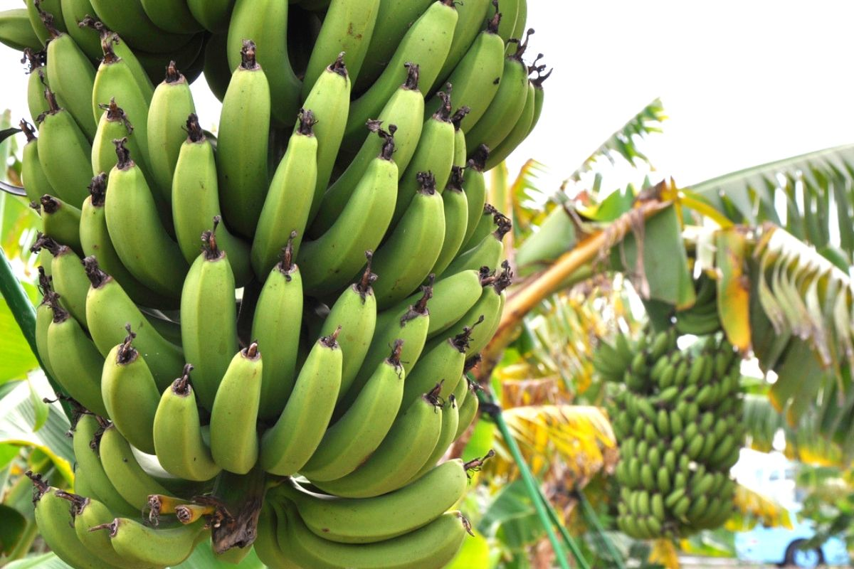 Nutritional Tips: Why Bananas Should be part of your Diet